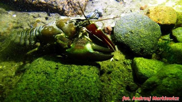 Raki w Jeziorze Hańcza - full image