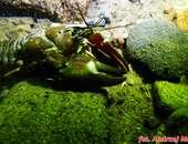 Raki w Jeziorze Hańcza