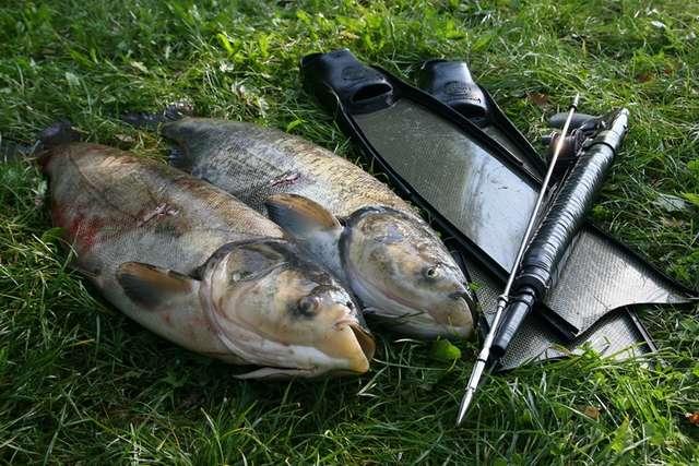 Selektywne odstrzały ryb kuszą - full image